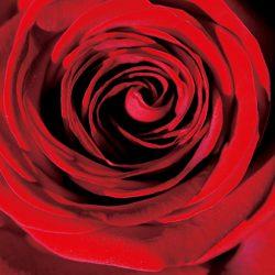 rose-648685